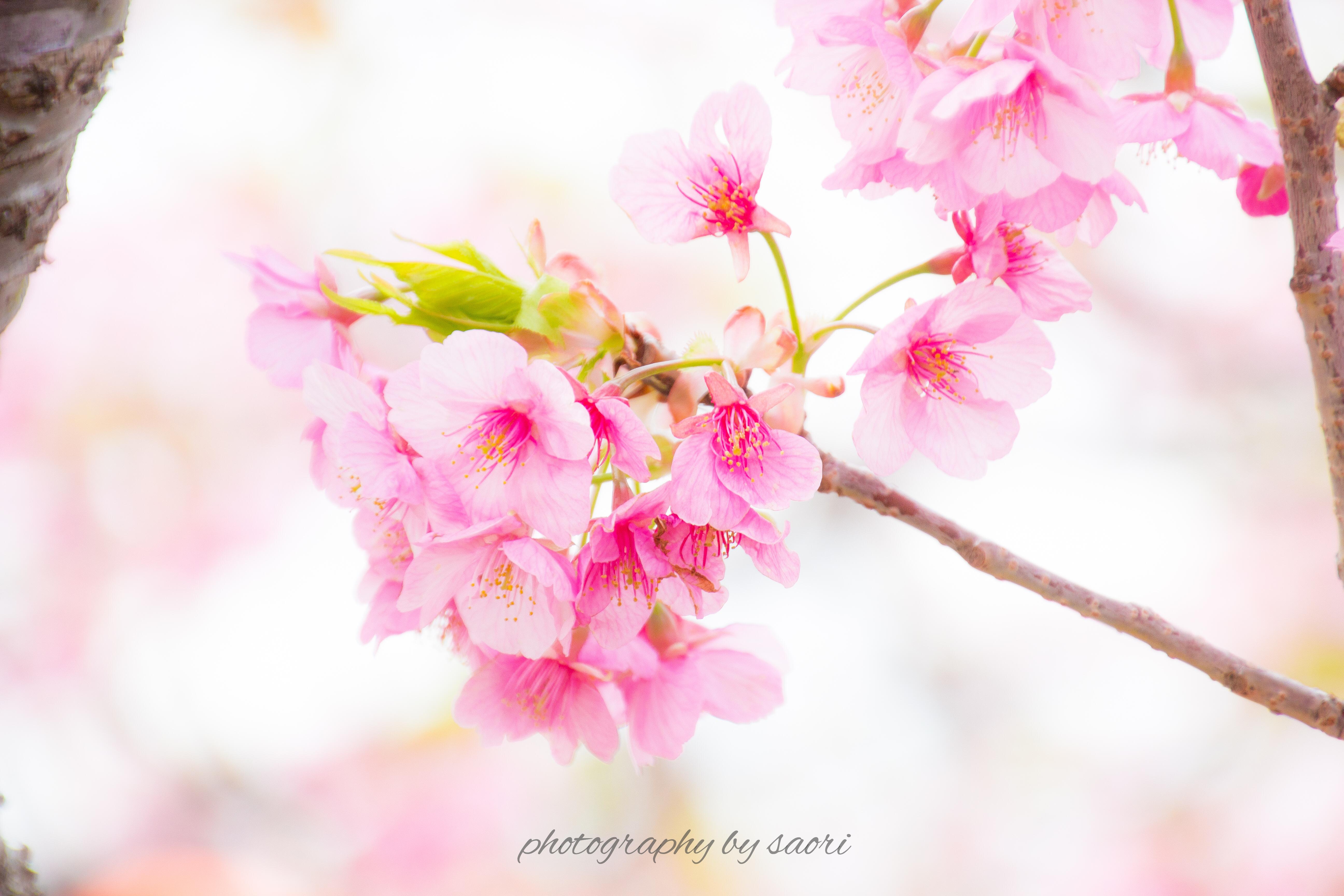 今ある命を燃やす〜静岡・伊豆の河津桜まつりに行ってきました