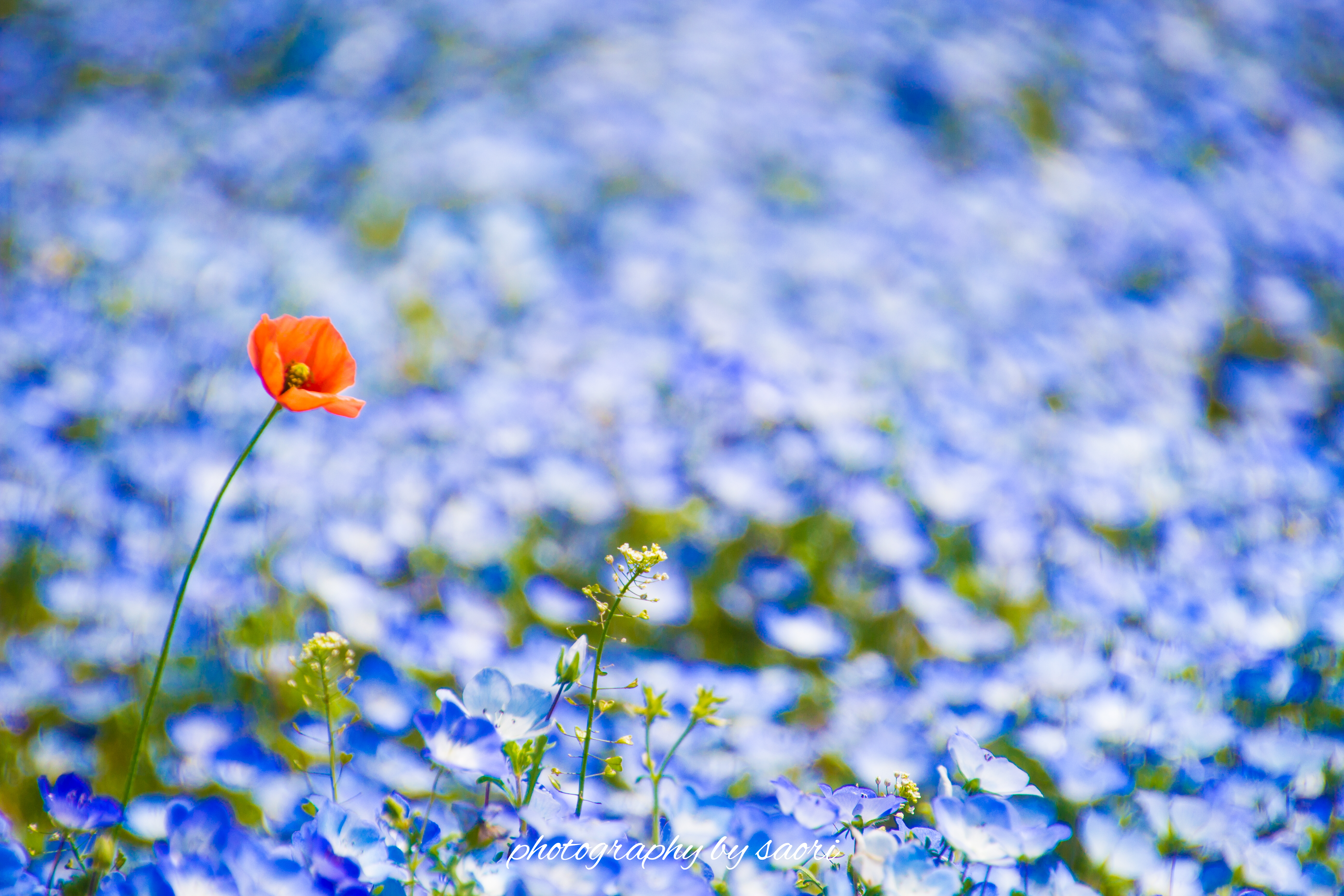 始まりの場所〜澄み渡るネモフィラブルーに咲く一輪の朱花