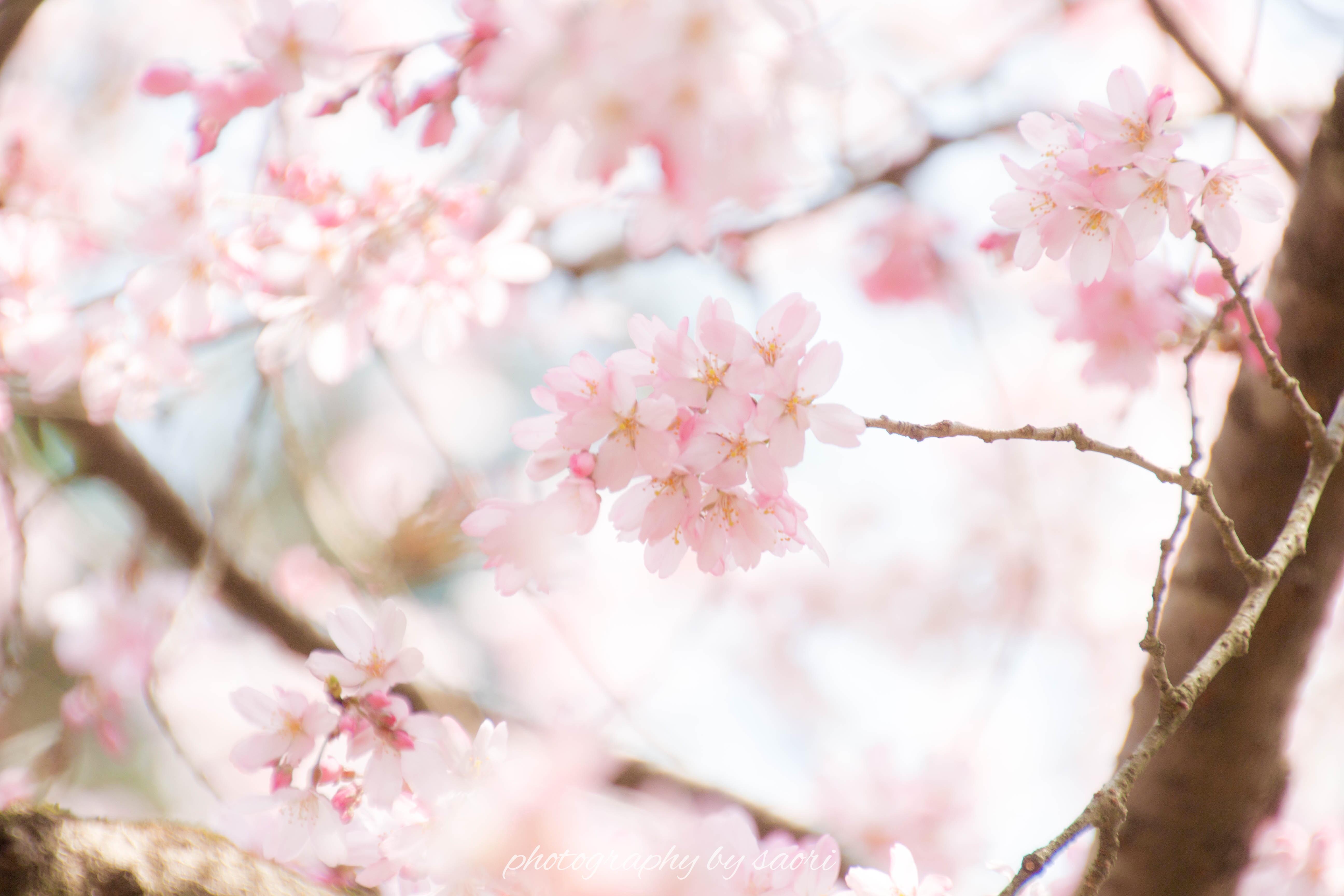 すべては必然〜京都の桜を愛でる旅①