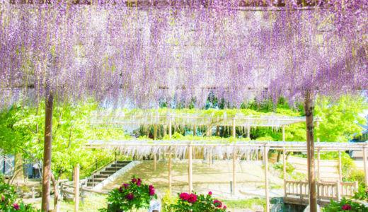 美しい藤花のカーテン〜愛知県江南市  曼陀羅寺〜