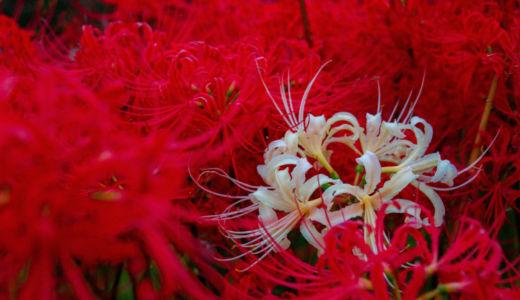 秋を感じる曼珠沙華の絨毯〜童話『ごんぎつね』の里・半田市 矢勝川の彼岸花