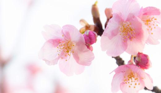 早春の足音~鎌倉・鶴岡八幡宮の早咲きの桜