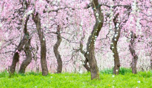 名古屋のしだれ梅の名所〜名古屋市農業センター delaファームのしだれ梅まつり