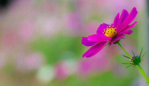 自然あふれる場所に咲く30万本のコスモス~愛知県新城市『コスモスの小径』