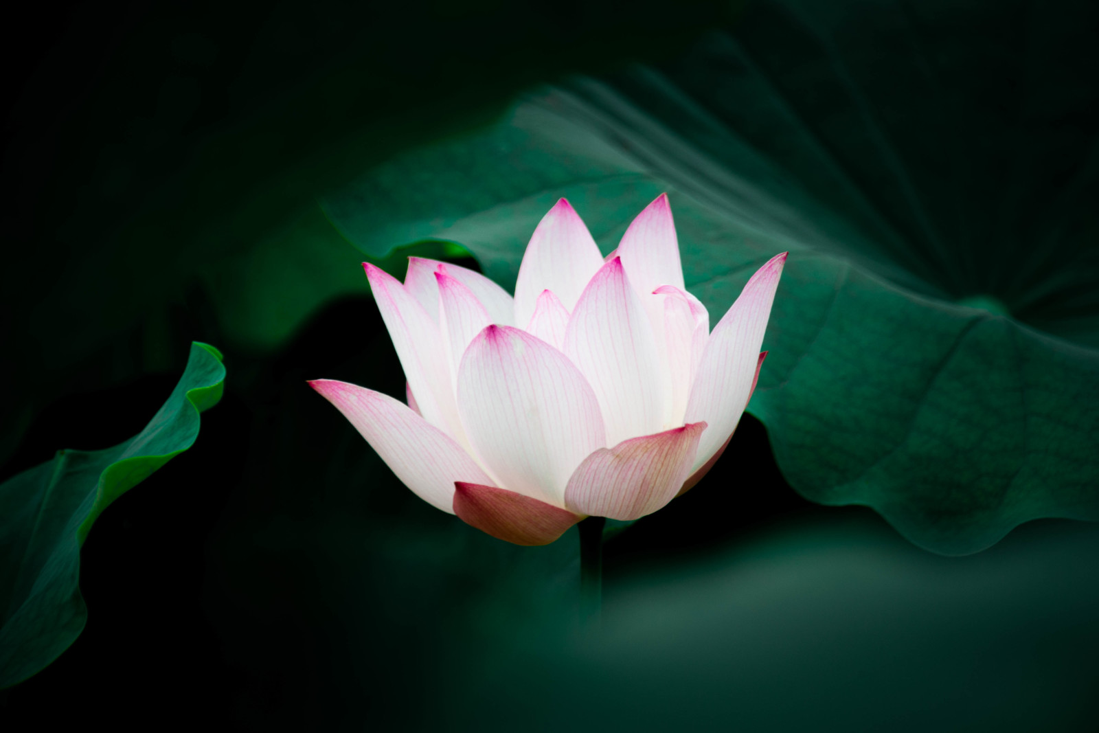 徳川家康 初陣の地として有名な場所。蓮の花の隠れ名所『随応院』